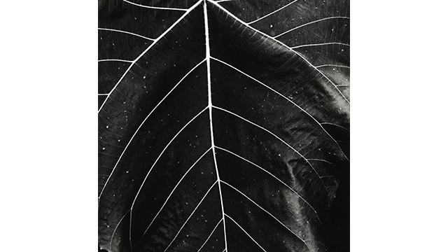 Brett Weston (American, 1911–1993), untitled, ca.1985, vintage gelatin silver print. Mary and Leigh Block Museum of Art, gift from the Christian Keesee Collection, 2018.13.48.  © Brett Weston Archive