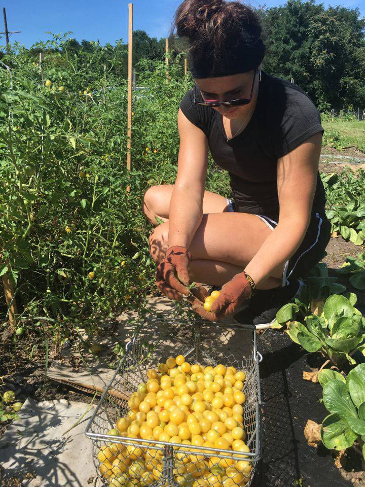 Mariah Keopple gathering tomatoes