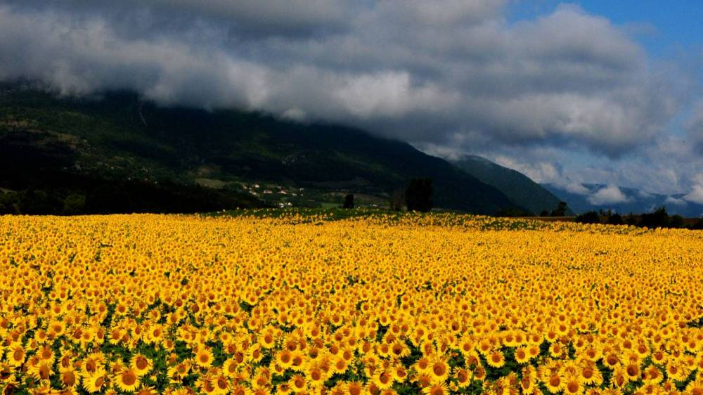 Field of yellow flowers with mountains in background