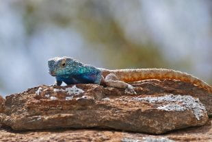 southern rock agama lizard