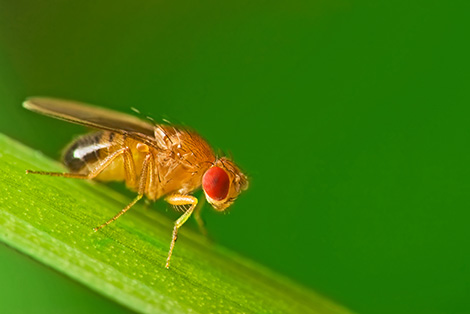A yellow drosophila fly, with prominent red eye, rests on green plant matter against a green background.