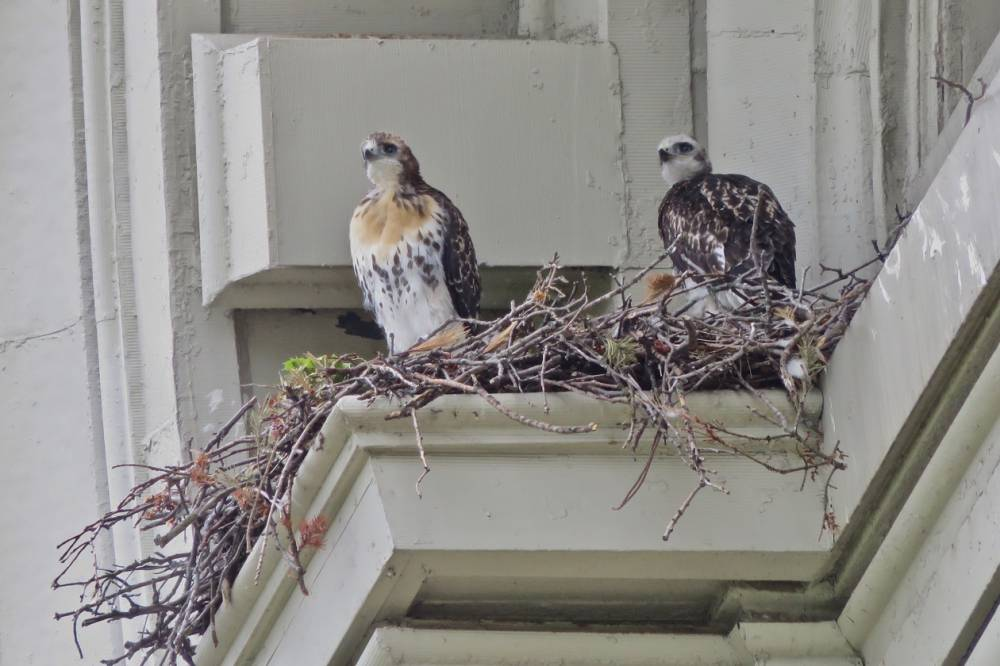 two hawks in a nest on a building