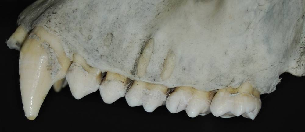 Gorilla teeth
