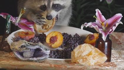 raccoon eating fruit from a tray