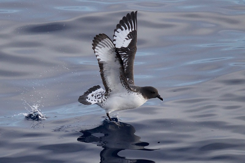 A white and gray Albatross bird lands on the ocean surface.