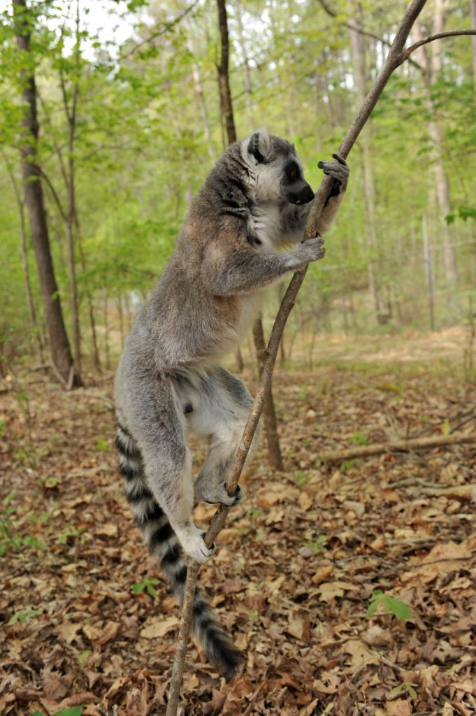 Lemurs can tell whether a mate's immune genes are a good genetic match by the scents they leave behind.