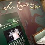 The glass sea creatures, dating to the 1870s and '80s, were made by German glass artists Leopold and Rudolf Blaschka, who created Harvard's famed Glass Flowers collection. The sea creatures were made earlier in the Blaschkas' careers and, unlike the Glass Flowers, which were made solely for Harvard, the sea creatures were widely sold as biological models.