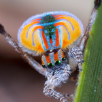 Peacock spider.
