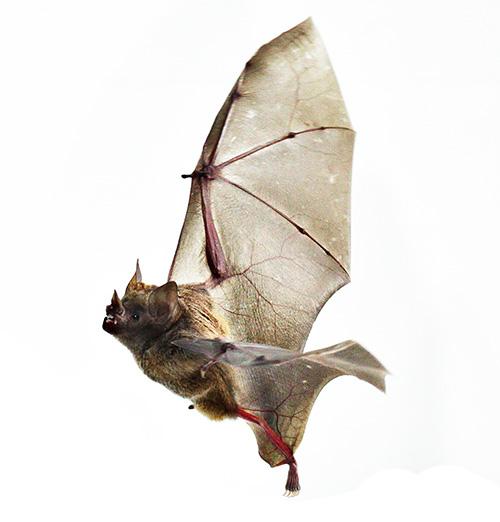 Image of a bat