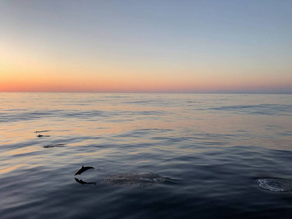 dolphin leaping at sunset
