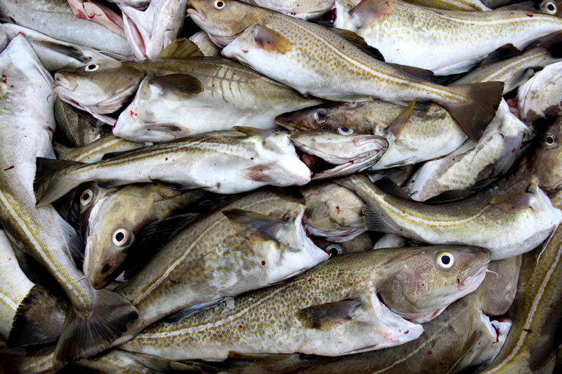 Cod in the Gulf of Maine can be divided into two, genetically-distinct subgroups, based on what time of year they spawn. iStock photo