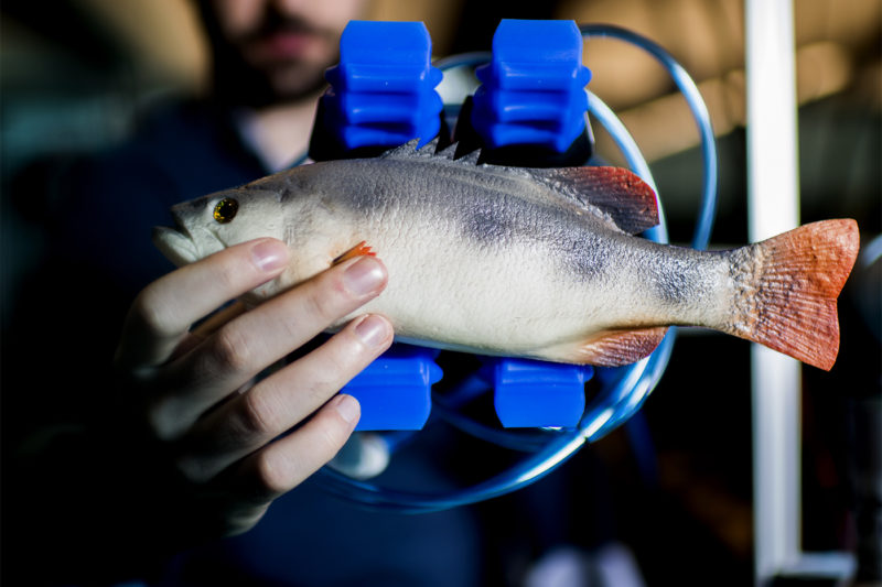 A soft gripper attachment holds a fake fish in Taşkın Padır's lab in the Interdisciplinary Science and Engineering Complex. Photo by Matthew Modoono/Northeastern University