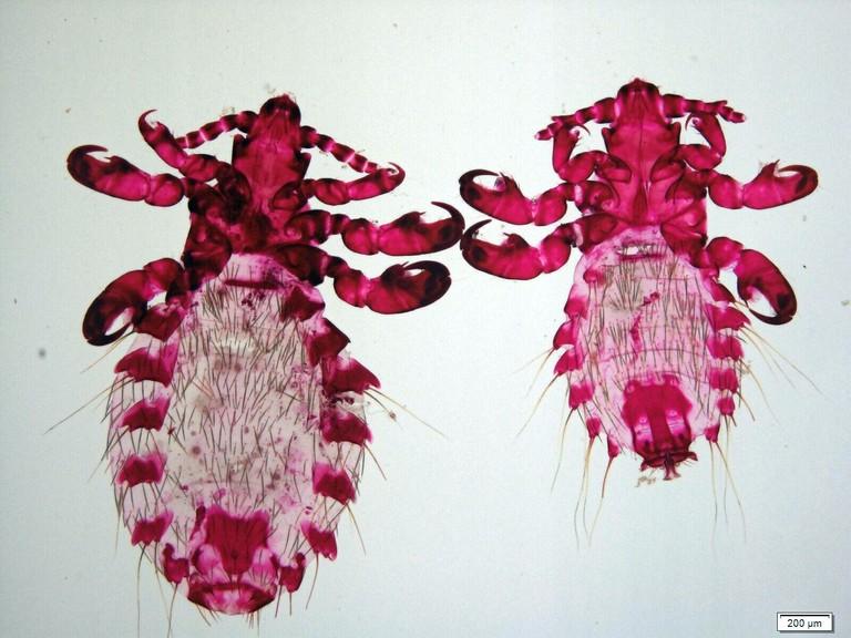 Sucking lice (Linognathoides faurei)