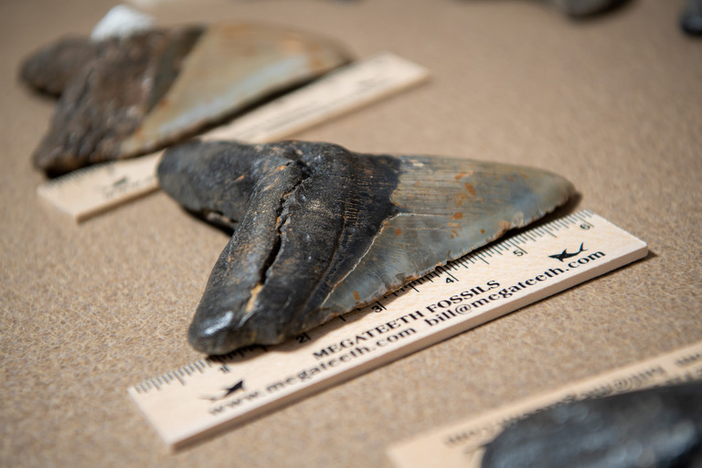 A close-up of a Megadolon shark tooth next to a ruler.