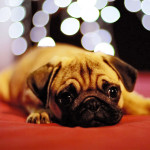 Sad-faced pug with holiday lights in background.