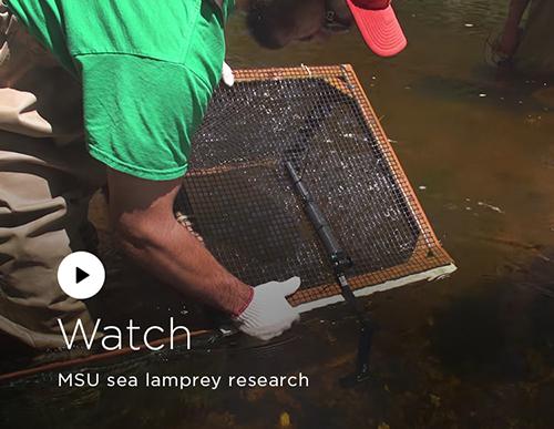 Watch: MSU sea lamprey research