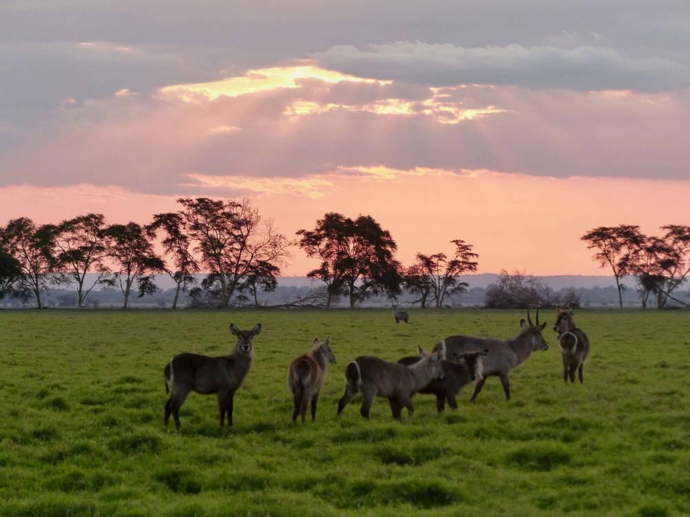 waterbucks at sunset
