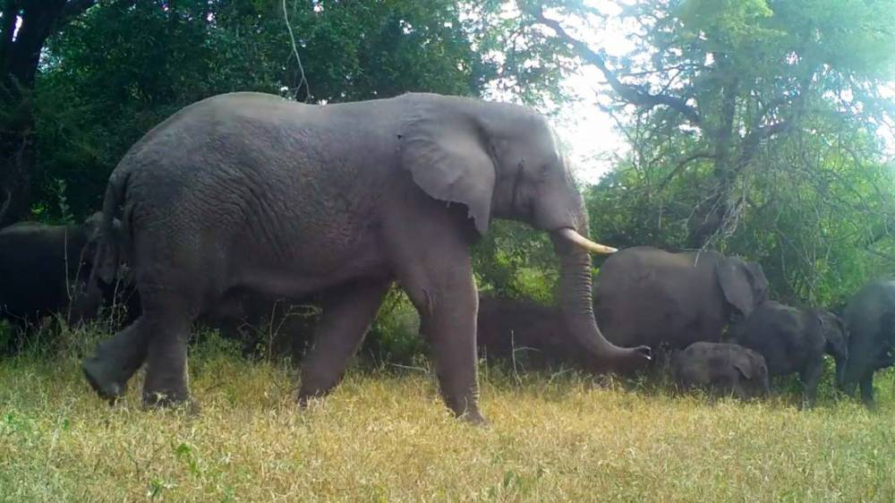 elephants walking through a clearing