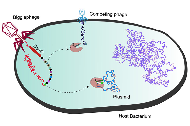 graphic showing how a megaphage injects a Cas gene into a bacterium, turning on the bacteria's defenses against competing viruses