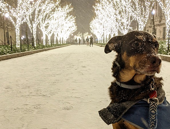 A black and tan dog covered in snow sits patiently in the middle of a snowy walkway.