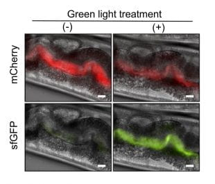 Light-responsive bacteria fed to worms are visible in images of the worms' gastrointestinal tracts.