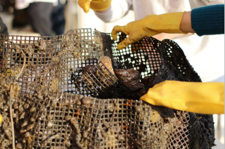 A mesh bag of oysters.