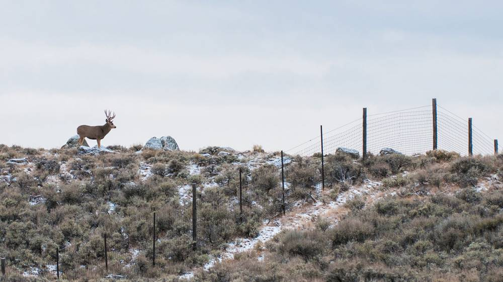 A photo shows a mule deer standing on an open field, a few yards away from a fence.