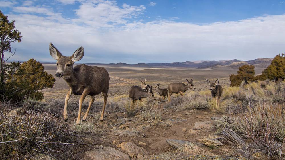 A photo shows four mule deer standing on an open field, with mountains in the background.