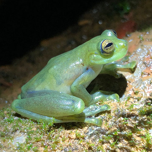 A photo of a greenish gray glass frog sitting on a rock.